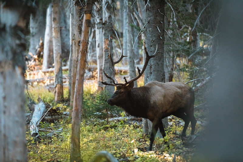 Washington State wilderness herd bull comes into a elk calling sequence. October 2018