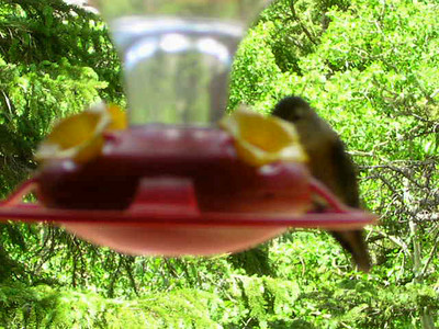 Humming Bird Nectar