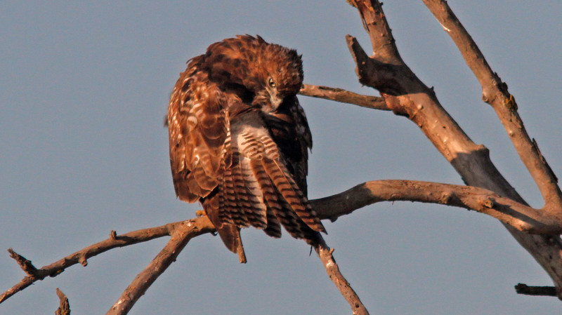 Red Tailed Hawk preening, Sacto WLR