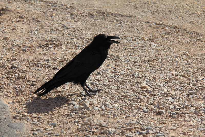 20180715-025 - Canyonlands NP - Raven at Mesa Arch Trailhead.JPG