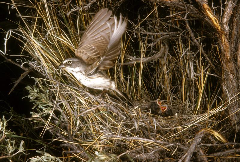 Sage Sparrow (Amphispiza belli), 1954