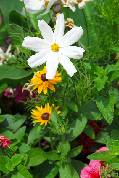 7/10/07 – This single white flower was perfect and all alone. It was in a large pot of flowers in a business district. It really stood out because of the rich colors surrounding it.