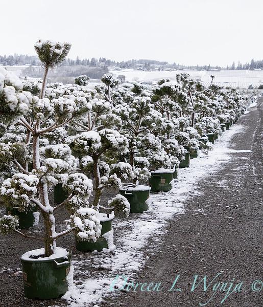 Pinus sylvestris 'French Blue' can yard in snow_4150.jpg