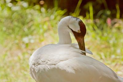 Sandhill Cranes & Whooping Cranes