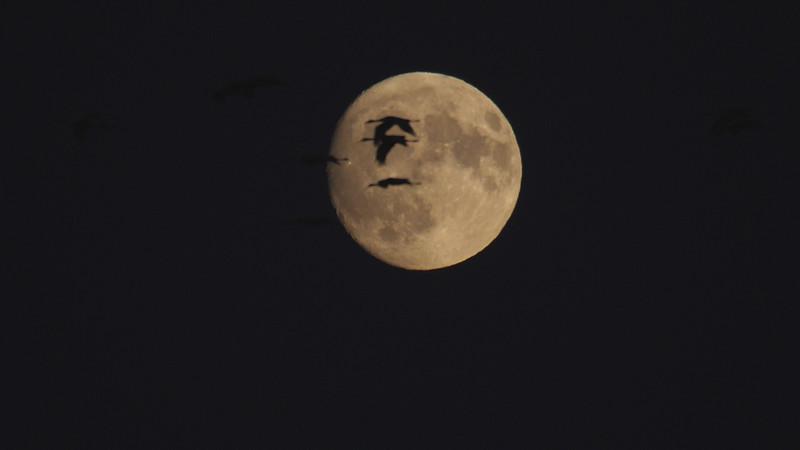 Sandhill Crane full moon fly in flight Crex Meadows Grantsburg WI P1044361.jpg