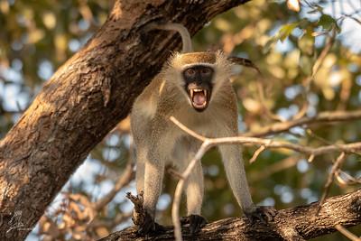 Monkey, Vervet (spp. rufovirdis)