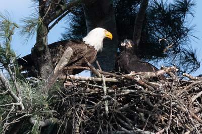 American Eagle Feeding Time