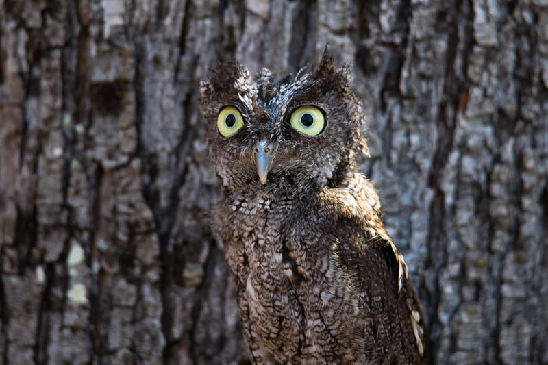 Eastern Screech Owl Vermont 2019-1.jpg
