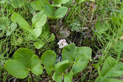 Menyanthaceae Vattenklöverväxter