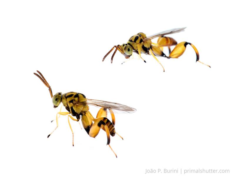 Chalcidid parasitoid wasp (possibly Conura sp.) Sorocaba, São Paulo, Brazil Urban December 2017