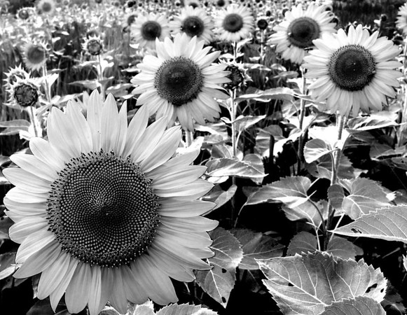 Illinois sunflowers.  2004
