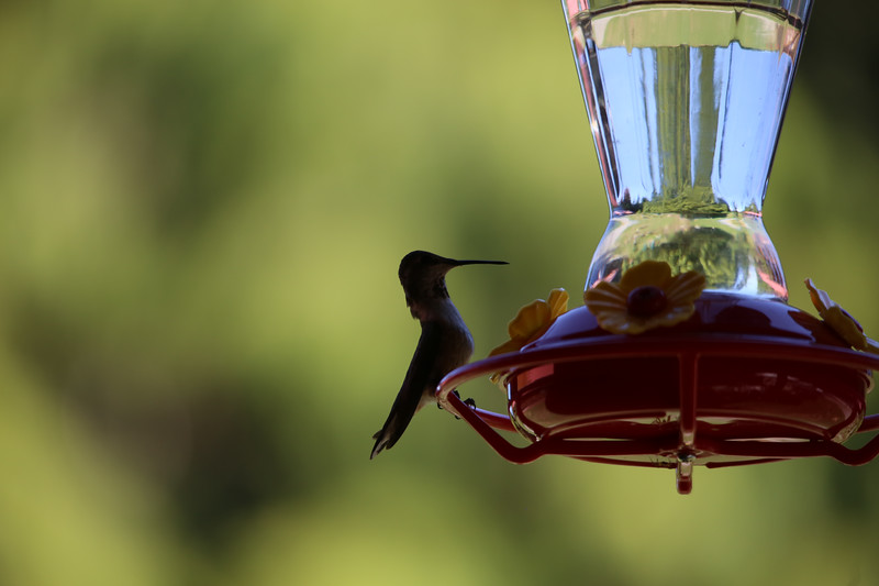 humming bird (15 of 55).jpg