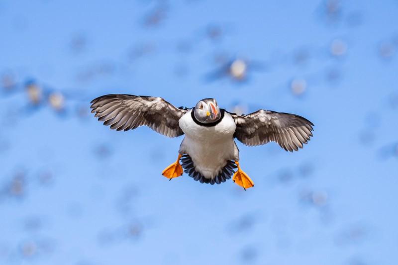 Arctic Seabirds :: Kites in the Sky