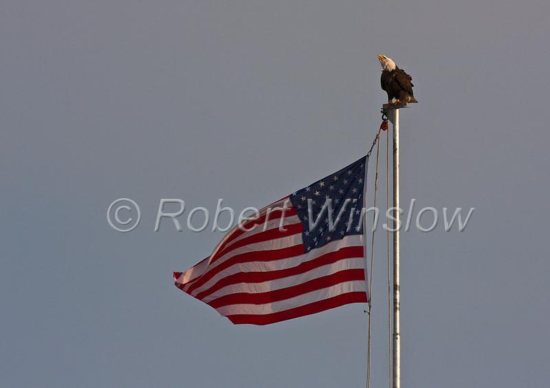 Bald Eagle, Haliaeetus leucocephalus, Perched on a Flagpole flying the American Flag, Kenai Peninsula, Alaska