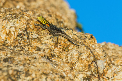 Lizards - Namibia Africa
