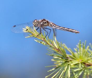 Sympetrum danae (Black Meadowhawk)