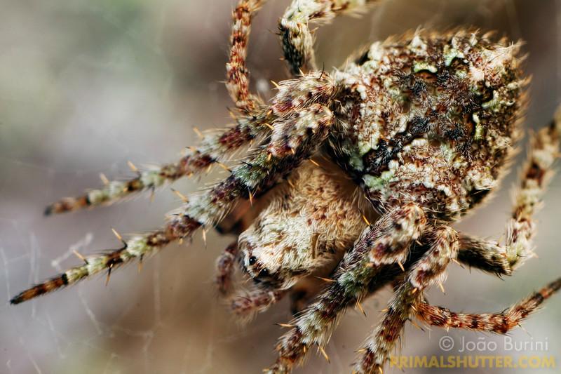 Details of a lichen orb weaving spider