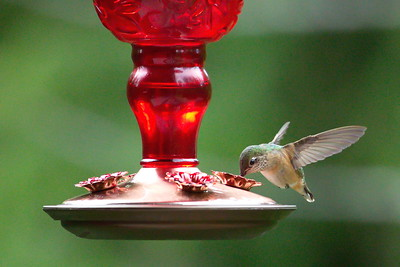 Hummingbirds - Swansea Point