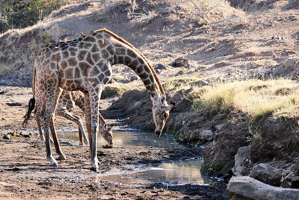 Giraffe Mashatu Botswana 2019