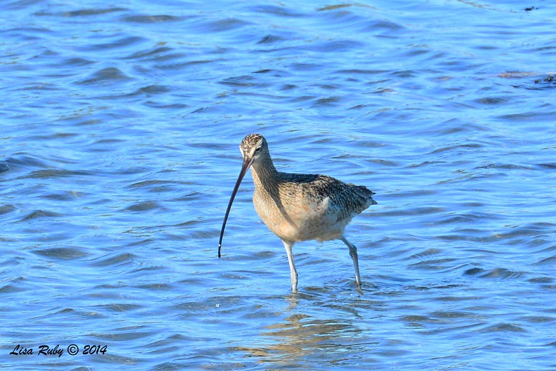 Long-billed Curlew - 12/29/2014 - Robb Field