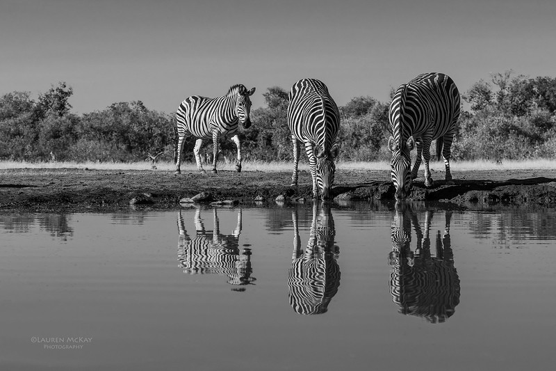 Burchell's Zebra, b&w, Mashatu GR, Botswana, May 2017-3.jpg