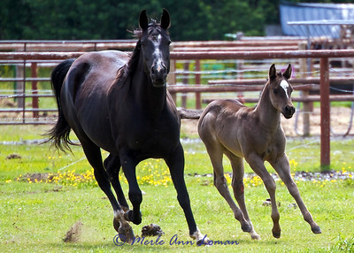 Mare and colt on Meridian Road June 2011