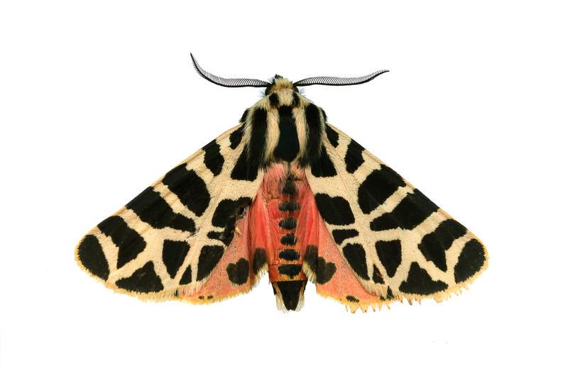Tiger Moth - dorsalGrammia incorrupta