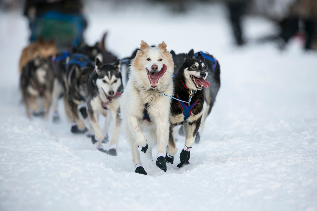 . The lead dogs of Sonny Lindner charge down the trail after the re-start of the Iditarod dog sled race in Willow, Alaska March 3, 2013. From Willow, the race runs for almost 1000 miles as it crosses the state.   REUTERS/Nathaniel Wilder