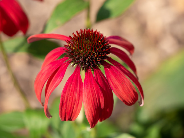 18 October 2017.  Echinacea up close.  If it works, these and Helenium bigelovii in the Fountain Bed will echo each other in shape with the domed disk and petals on the ray flowers folding below.  Colors, of course, differ.