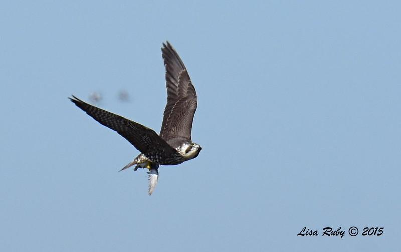 Juvenile Peregrine Falcon - 11/22/2015 - Salt Works