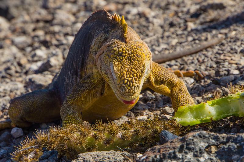 Santa Fe Land Iguana eating a cactus