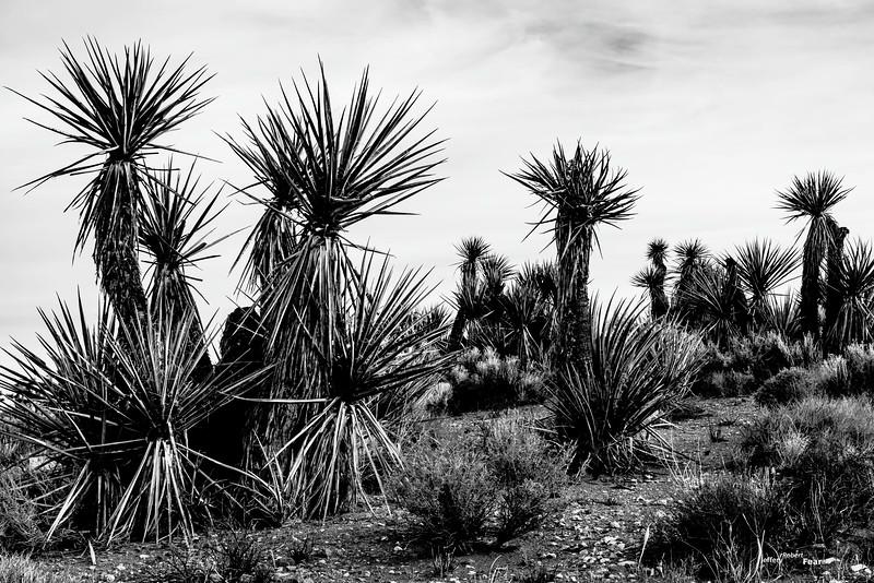 Yucca tree progression