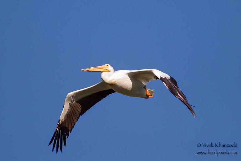 American White Pelican - Sierra Valley, CA, USA