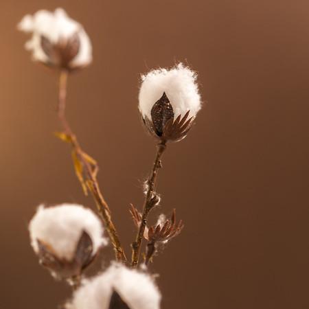 Cotton Sample Shots