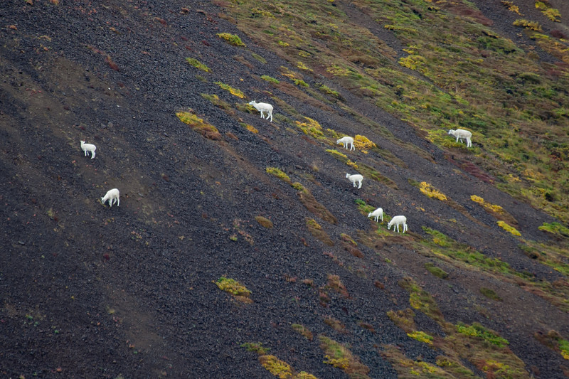 Dahl sheep.