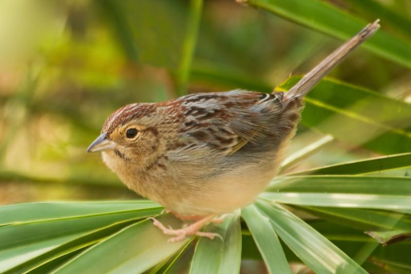 Sparrow - Bachman's - Brickyard Road - Apalachicola National Forest - FL-01