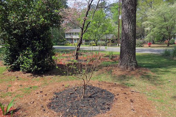 April 6:  First azalea cluster has peaked .  .  .