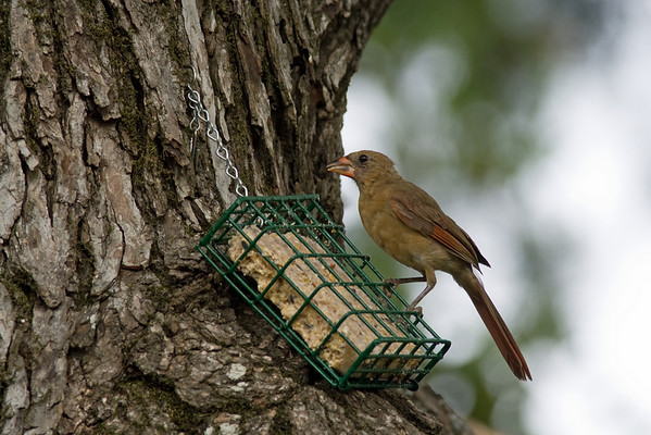 Northern Cardinal & Grosbeaks