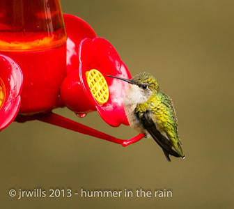 Hummer Drinking in the Rain