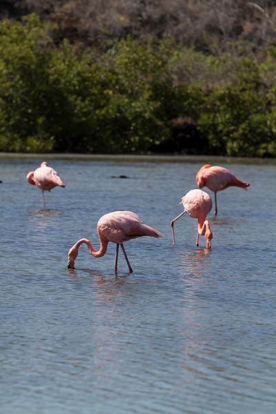 Flamingos onFloreana.jpg