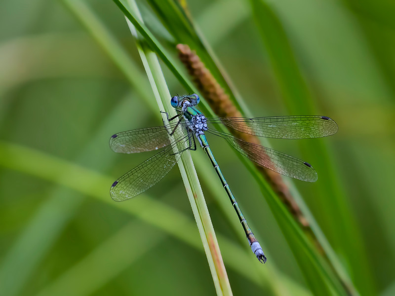 Emerald Spreadwing (Lestes dryas) male, Leatherleaf Swale, Centre Co, PA