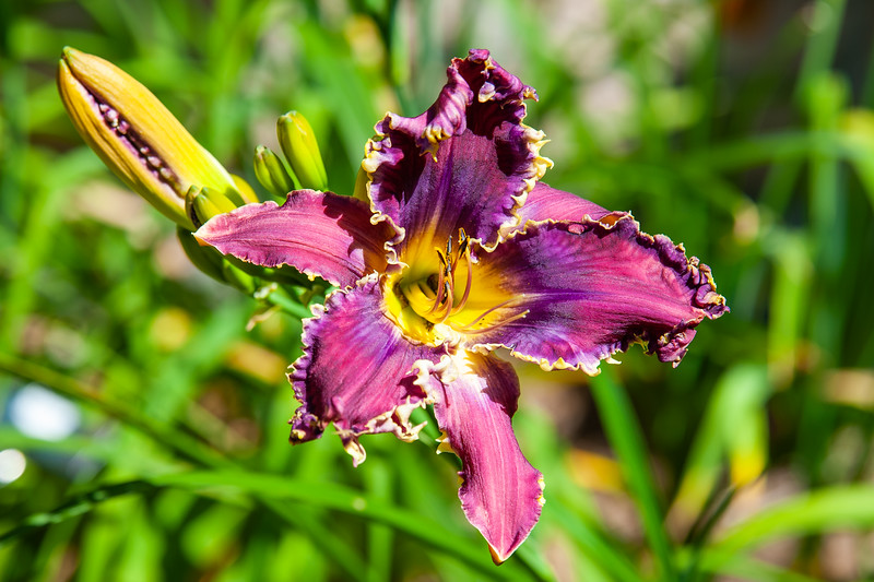 20190714 Daylilies and Flowers-6406.jpg