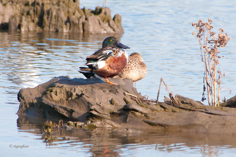 Nov 13_Northern Shovelers MCMarsh_8097.jpg