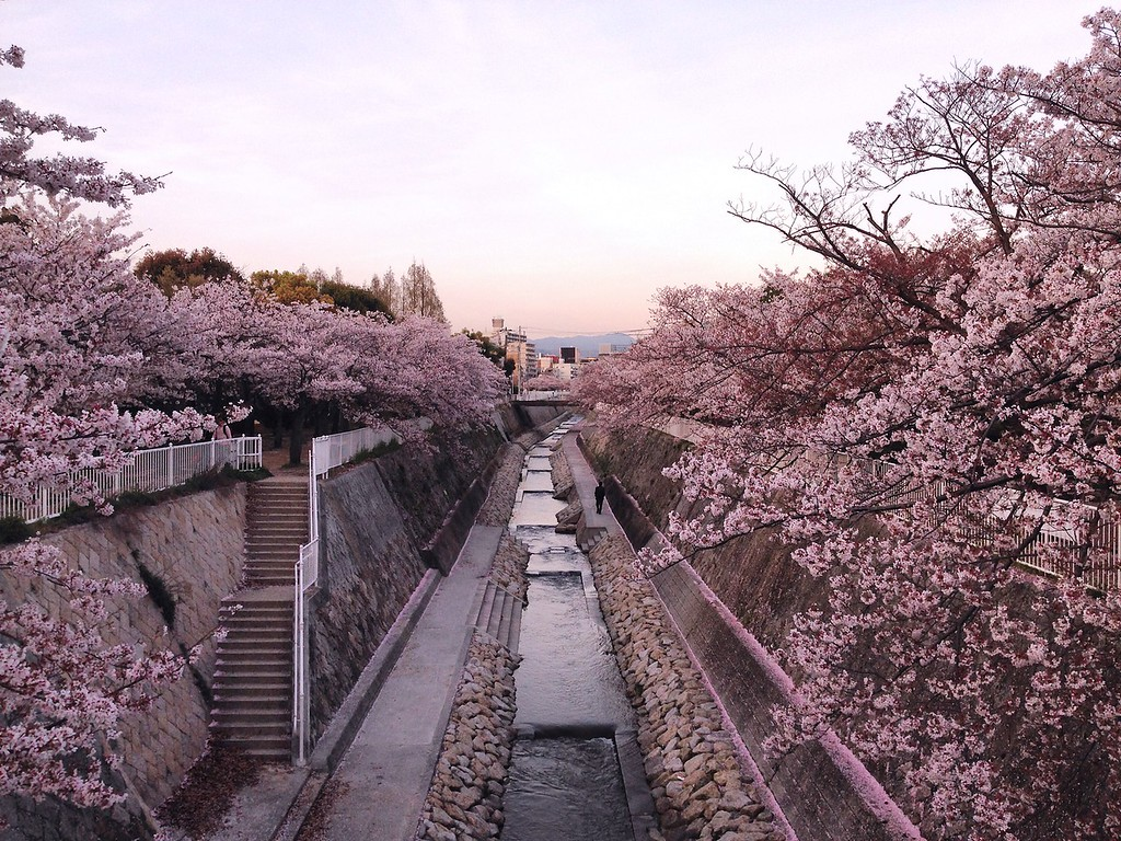 Cherry blossoms in full bloom in downtown Kobe