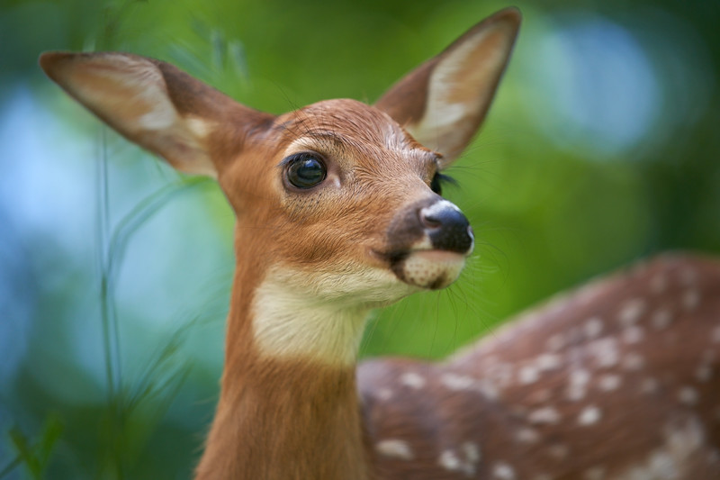 White-tailed Deer Fawn Close-up