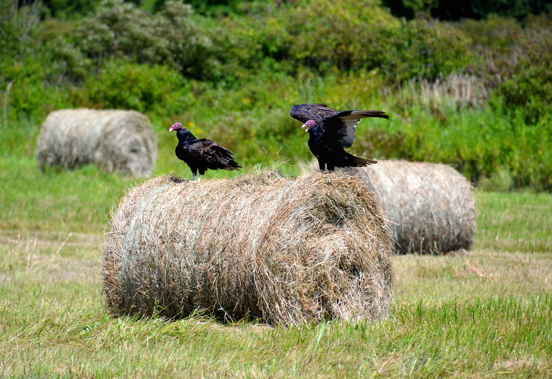 Buzzards-Ohio-Haybales.jpg