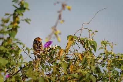 Cisticola, Rattling (spp. humilis)