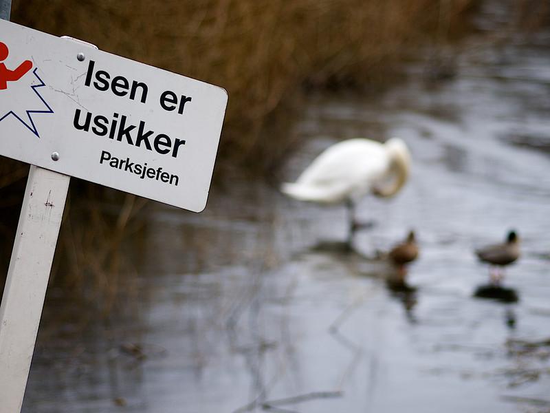 The ice is not safe. As if the small birds on the Mosvannet care. ********** Isen er usikker. Som om fuglene på Mosvannet bryr seg. (Foto: Geir)