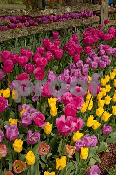 Tulips 5357.jpg