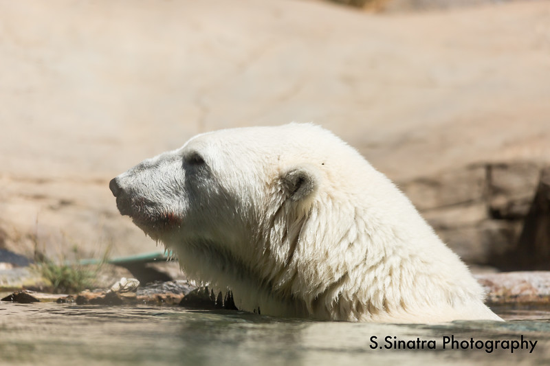 polar bear (28 of 50).jpg
